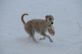 Poppy bringing my slipper.  Picture © Sue Jerrard